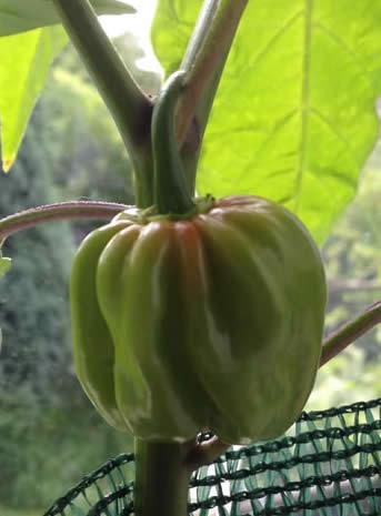 Fruit 2014-07-26 5